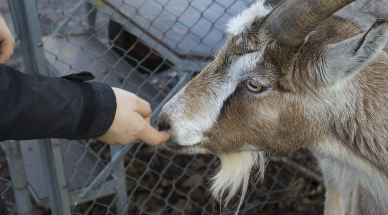 De store hornene har gitt geiten Valentin høy status selv om han er en av de yngste i flokken. (Foto: Susanne Svendsen)